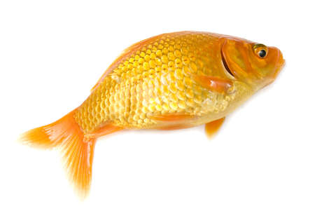 fishtank: Small gold fish isolated on the white background