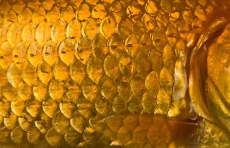 escamas de peces: Macro foto de un pez dorado escalas con trampa  Foto de archivo