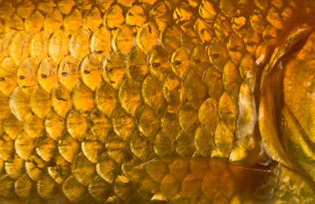 fish tail: Macro photo of a golden fish scales with flapper Stock Photo