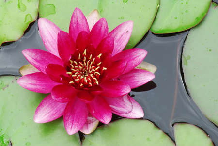 Beautiful blooming pink water lily detail in the pond Stock Photo - 3773841