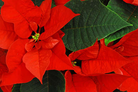 christmas flower: Red Poinsettia with green leaves - christmas flower Stock Photo