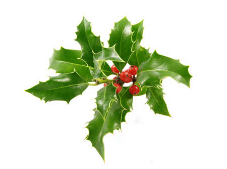 Christmas decoration - isolated holly with berries on the white Stock Photo - 3938771
