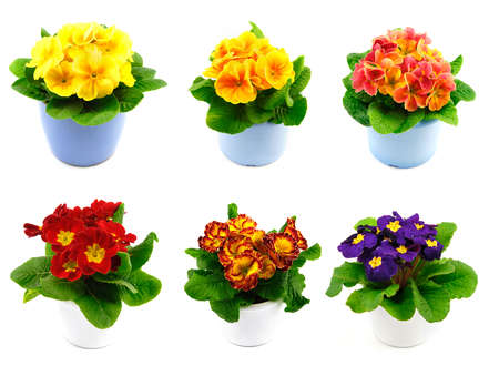 Set of six beautiful spring primroses of various colors in pots photo