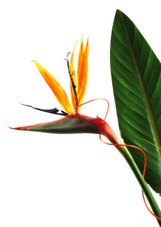 Bird of paradise flower (strelitzia) isolated on white background Stock Photo