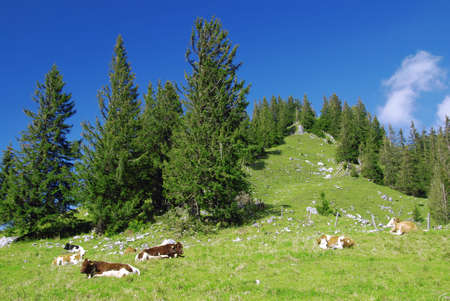 Beautiful alpine landscape with green grass with cows. Stock Photo - 4458643