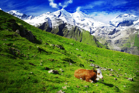 Beautiful alpine landscape with peaks covered by snow and green grass with cow in the foreground. Emphasis on the cow caused by comming light. Stock Photo