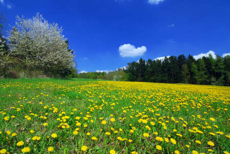 Beautiful spring landscape with blooming yellow dandelions and cherry tree Stock Photo - 4717770