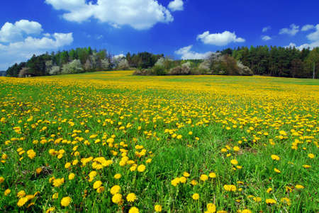Beautiful spring landscape with blooming yellow dandelions and cherry tree photo