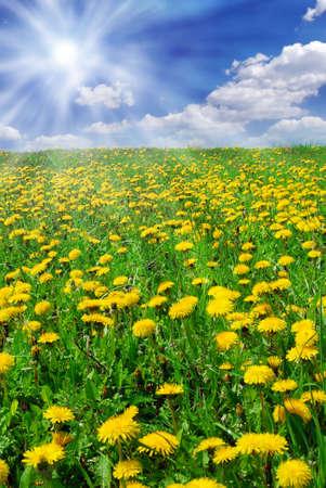 Beautiful summer field full of yellow blooming dandelions and shining sun Stock Photo - 4717766