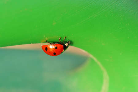 Small ladybird bug is on is way across a green leaf Stock Photo - 4804629