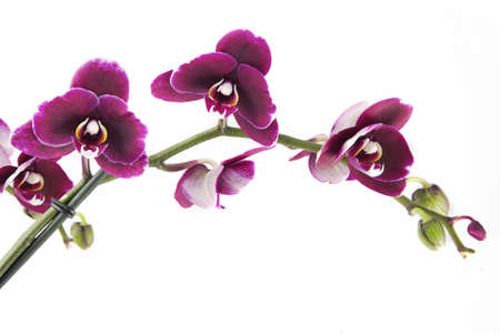 purple orchid: Beautiful orchid (Phalaenopsis) isolated on white