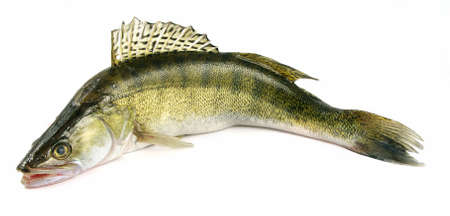 freshwater: Walleye zander fish (pikeperch) isolated on white
