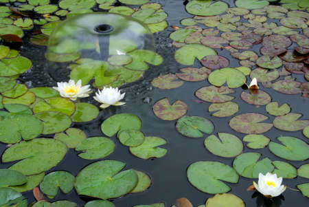 White water lilies blooms in the pond fith a fountain Stock Photo - 5435576