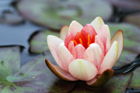 Beautiful blooming pink water lily detail in the pond Stock Photo - 5435403