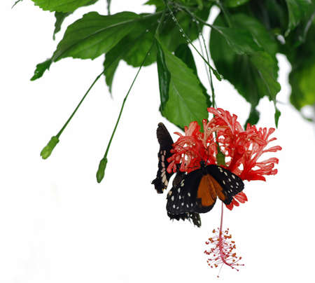 Two tropical butterflies are sitting on a red orchid - isolated on white photo
