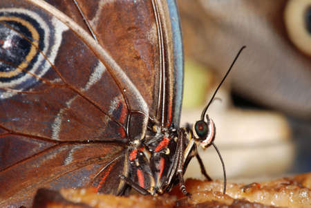 Deatail of a tropical butterfly eating the sweet fruit juice Stock Photo - 5513760