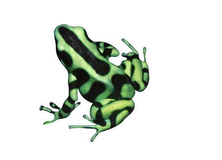 dendrobates: Beautiful tropical frog Dendrobates auratus (green and black poison dart)