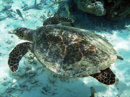 Sea turtle is swimming over a coral reef  photo