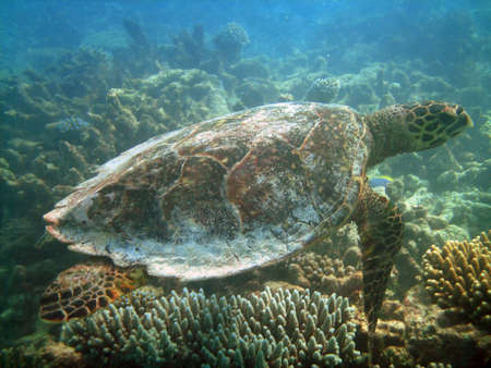 Sea turtle is swimming over a coral reef