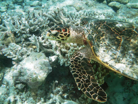 Sea turtle is swimming over a coral reef with various fish photo
