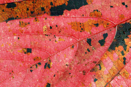 Beautiful autumn background - pink leaf with orange and black marks Stock Photo - 5579170