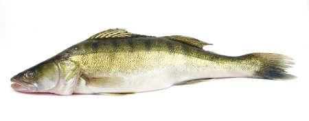 Walleye zander fish (pikeperch) isolated on white Stock Photo - 5726251
