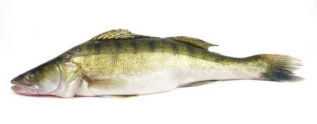 Walleye zander fish (pikeperch) isolated on white Stock Photo - 5726251