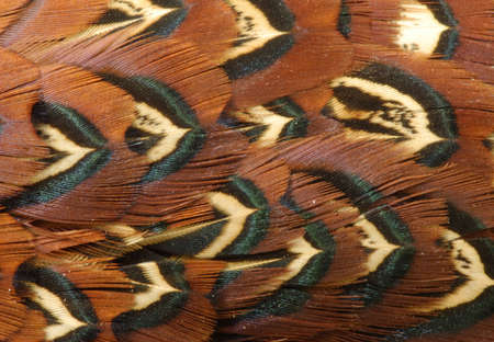 black feather: Deatailed texture of golden pheasant feathers