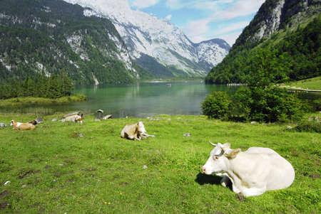 Beautiful Alpine landscape with cow herd near Koenigssee in Bavarian Alps