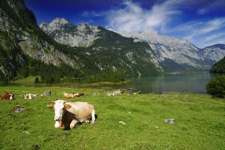 beautiful cow: Beautiful Alpine landscape with cow herd near Koenigssee in Bavarian Alps
