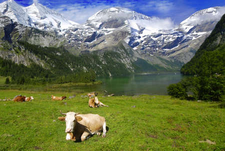 Beautiful Alpine landscape with cow herd near the lake with mountains in the back covered by snow photo