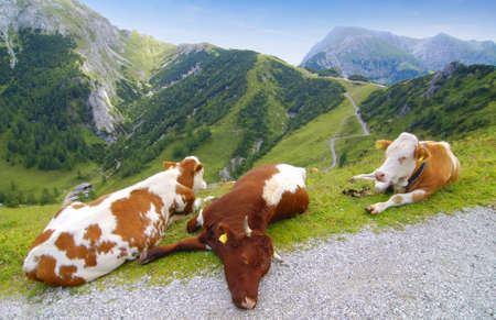Very lazy cows lying on the Alpine pasture photo