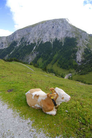 Very lazy calf lying on the Alpine pasture photo