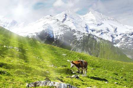 Cow standing on an alpine meadow is looking into the sun photo