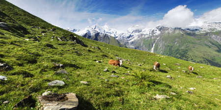 Beautiful alpine panoramic landscape with peaks covered by snow and green grass with cows in the foreground. photo