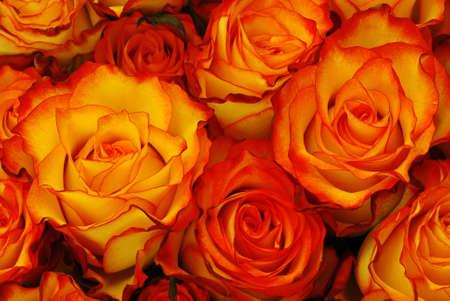 orange rose: Orange roses with leaves background - natural texture with fresh flower buds