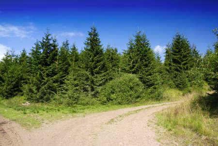 pino: J�venes abeto bosque y un camino sucio Foto de archivo