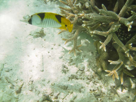 Life underwater - lined butterflyfish and a coral reef photo