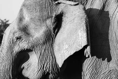 Detail of a very old wild elephant (lephus maximus vilaliya) in balck and white. Safari in a National Park Yala, Sri Lanka  photo