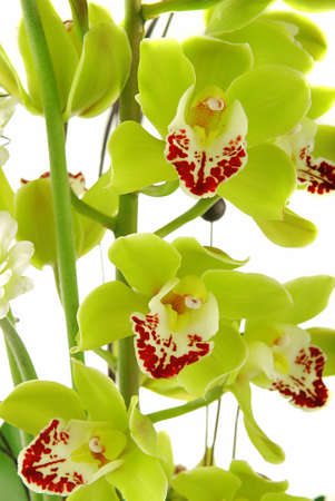Beautiful yellow orchid (cymbidium) isolated on white background Stock Photo - 8130520