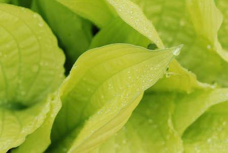 Drops of dew water on a fresh green hosta leafs  photo