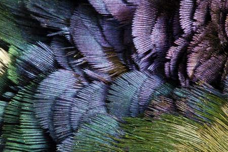 plumas de pavo real: Textura de Deatailed de plumas de fais�n dorado