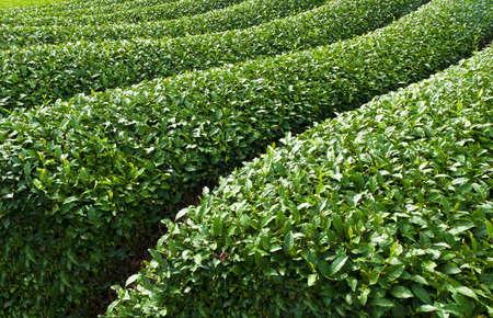 Beautiful fresh green tea plantation at Nihondaira, Shizuoka - Japan Stock Photo - 8848243