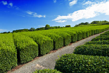 Beautiful fresh green tea plantation at Nihondaira, Shizuoka - Japan Stock Photo - 8848269