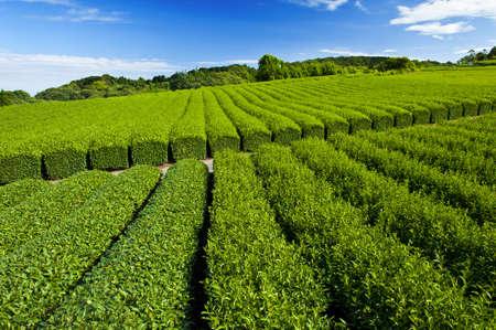 Beautiful fresh green tea plantation at Nihondaira, Shizuoka - Japan Stock Photo - 8848353