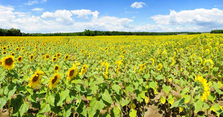 Wide panoramic photo of a beautiful sunflower field in the southern Moravia, Czech Republic