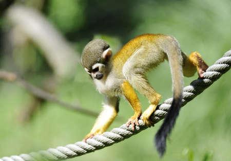 sciureus: Common Squirrel Monkey (Saimiri sciureus)  on the rope. Shallow DOF