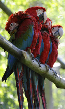 Macaw parrots on a branch. Four red macaw(ara arakanga) with blurred background and shallow DOF photo