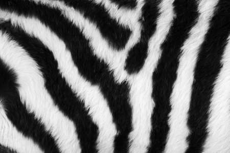 Detail of a black and white stripes on a zebra skin photo