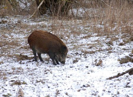 omnivores: Wild boar is looking for some food - but it is hidden in a frozen land